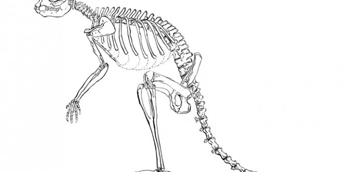 The sthenurine had larger bones and other skeletal difference from modern-day kangaroos that suggest it may have walked instead of hopped. (Credit: Lorraine Meeker/American Museum of Natural History)