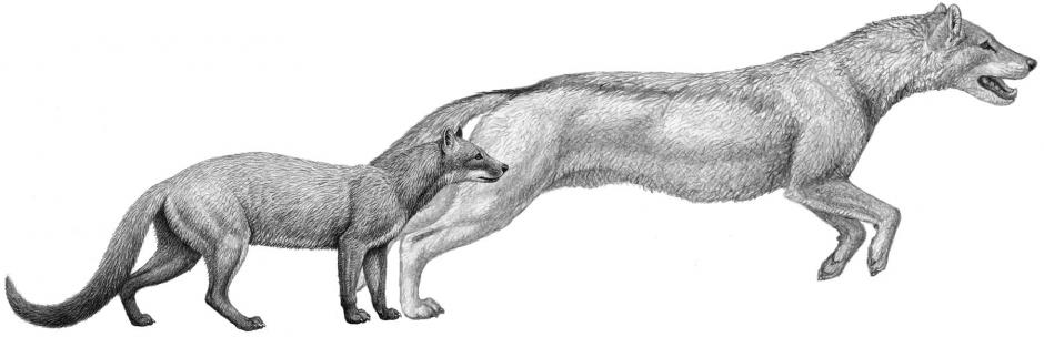 Two early dogs, Hesperocyon, left and the later Sunkahetanka, were both ambush-style predators. As climate changes transformed their habitat, dogs evolved pursuit hunting styles and forelimb anatomy to match. (Credit: Mauricio Anton)