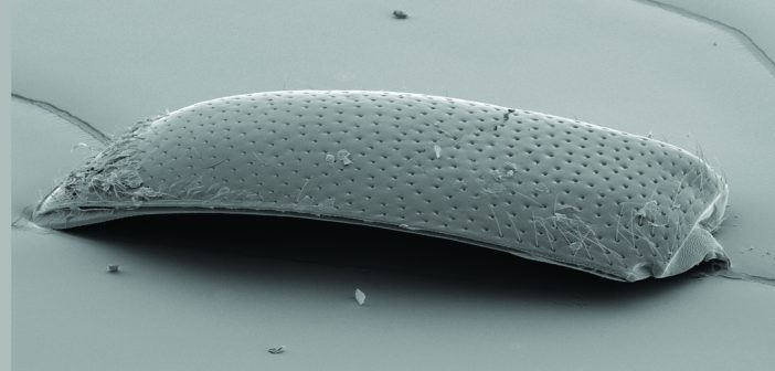 Beetle wing specimen