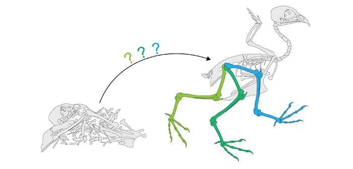 How do you go from a pile of bones to a fully articulated creature? Understanding how ligaments affect joint movement can help. Credit Armita Manafzadeh