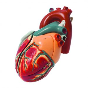 """FOLLOW THE HEART: Before Plavicki began studying cardiovasculature, she picked up this model when the University of Wisconsin medical school moved. """"Who knew this was foreshadowing my career?"""" she says."""