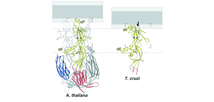 Researchers have revealed the structure of proteins that enable sperm cells to fuse with eggs to form a new individual. Image courtesy of Fedry et al.