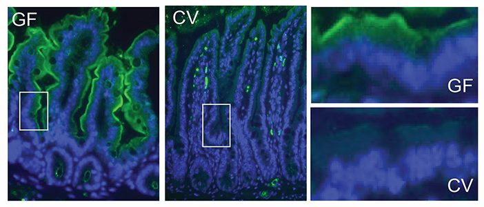 The amount of vitamin A-converting protein, shown in green, varies between the guts of normal mice (CV) and mice without gut bacteria (GF). Image courtesy Vaishnava Lab/Immunity
